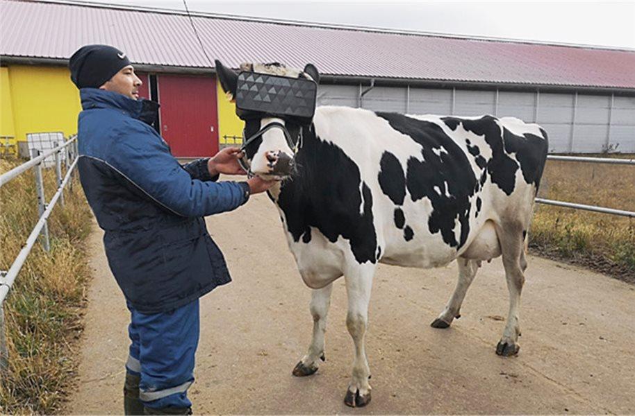Kühe Vr Brille